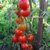 Tomate Glacier bio plant
