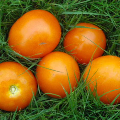 Tomate Moonglow