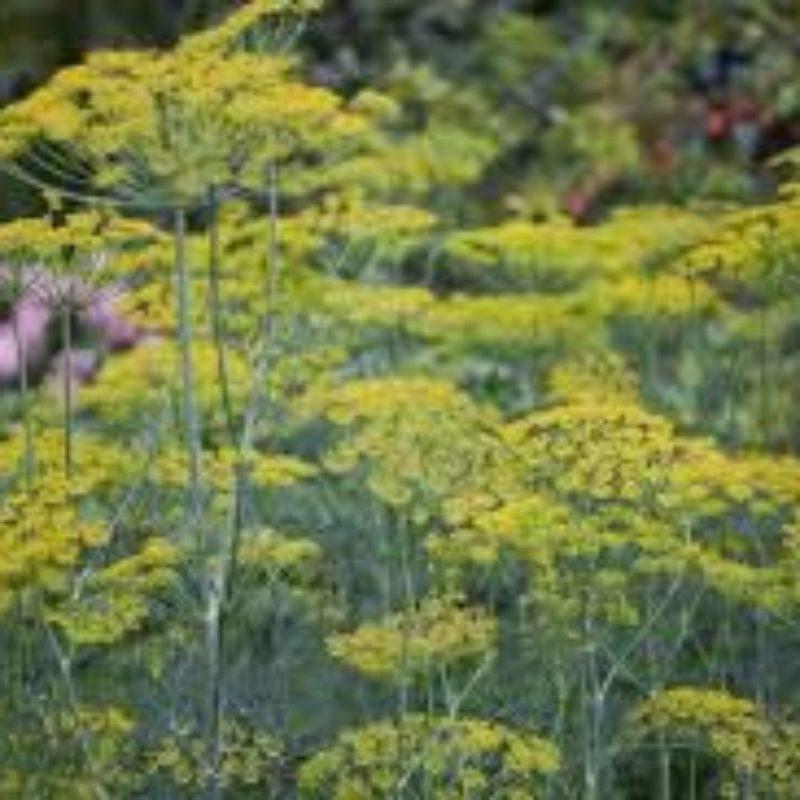 Fenouil commun Bio fleurs et graines