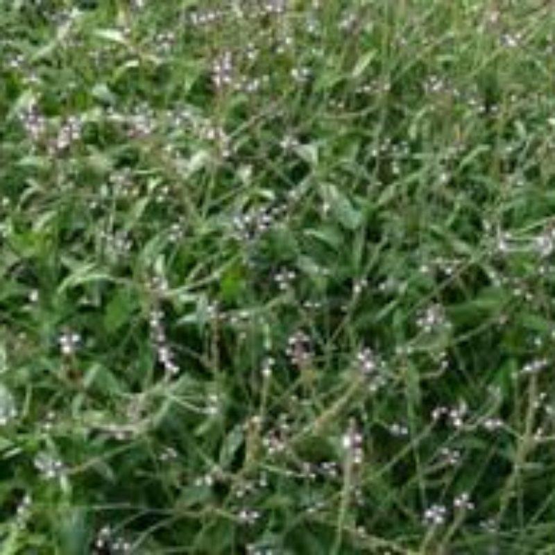 Verveine officinale graines et fleurs bio