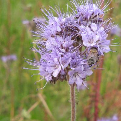 Phacélie fleur sauvage